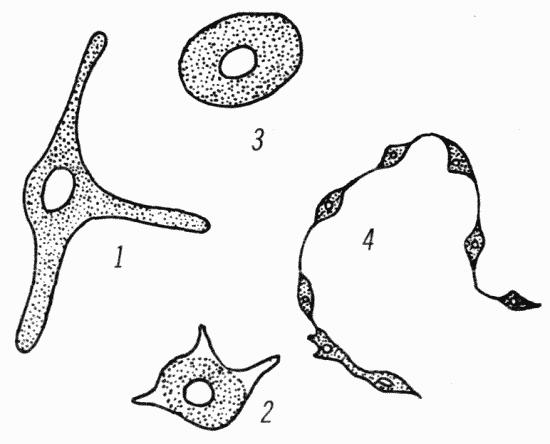 Схема строения меланоцита в