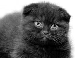 Шотландская вислоухая кошка очень