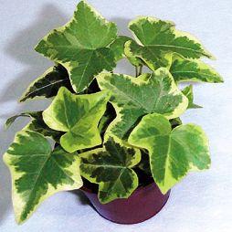 Плющ (Хедера) / Hedera относится к семейству Аралиевых / Araliaceae.