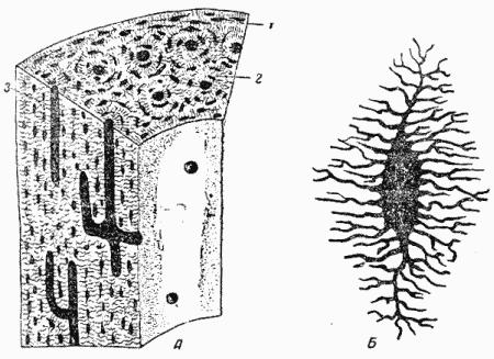 А - схема строения кости; 1 - наружные костные пластинки; 2 - Гаверсова система; 3 - сосудистый канал; Б.
