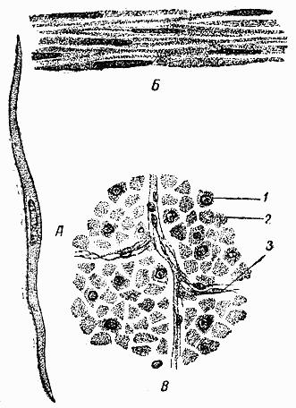 Рис.32.  Схема строения компактного вещества кости.