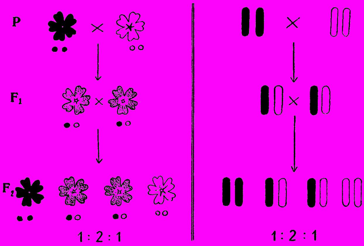 Под цветками даны гены; справа изображены хромосомы.  Ход скрещивания у ночной красавицы изображен на схеме.