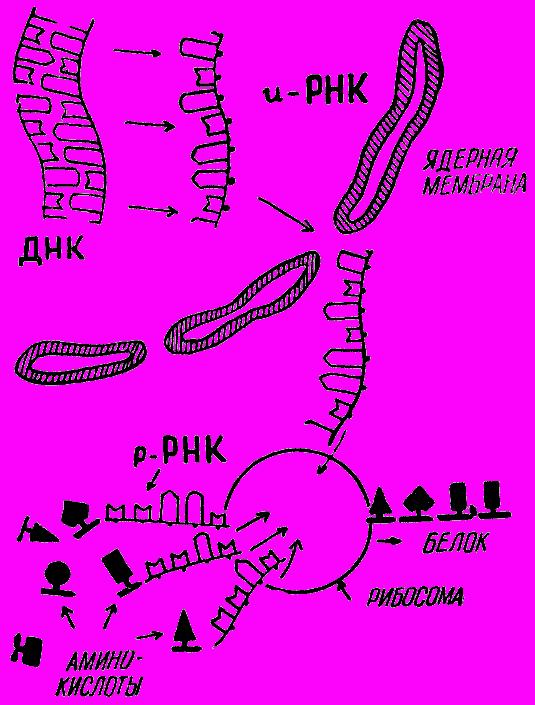 Мы и её величество ДНК (fb2) |