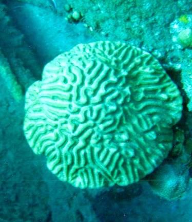 Коралл – «мозговик»