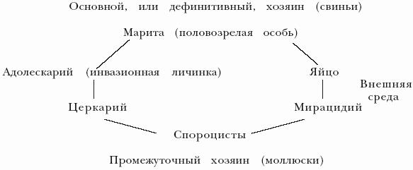 Цикл развития трематод представлен на схеме 1. У свиней трематодозы встречаются относительно редко.