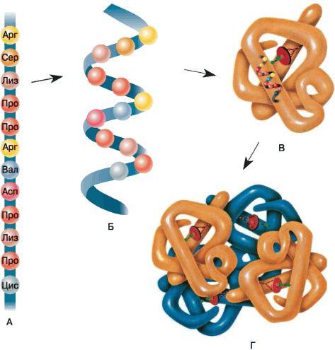 Строение белковой молекулы: А