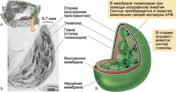 репродуктивная клетка животных и растений 6 букв - фото 9