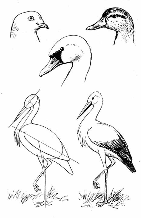 Рисование птиц; головы голубя,