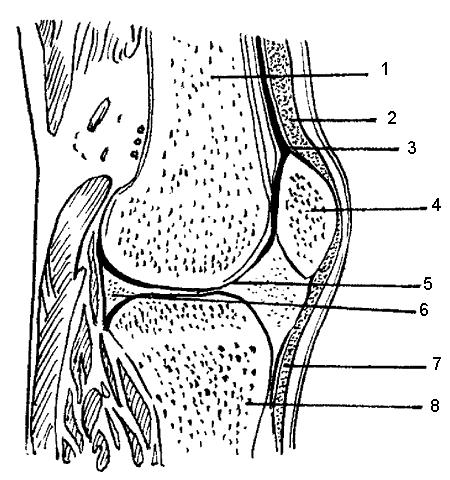 Сустав представляет собой подвижное соединение костей.