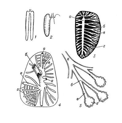 ...И., Основы сравнительной анатомии позвоночных животных, 4 изд., М., 1947; Масенов Т. М., Биодинамика легких у...