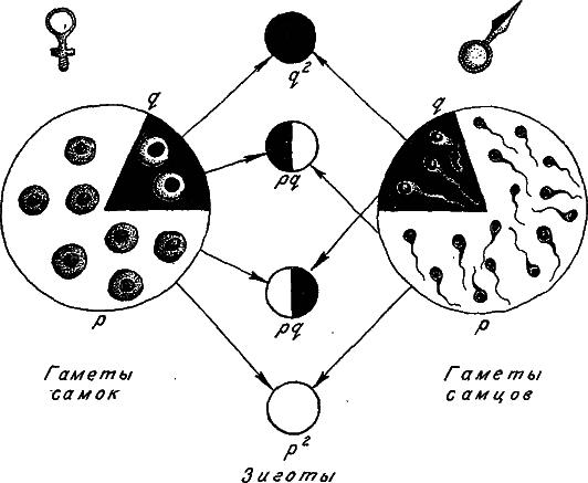 Схема формирования генотипов