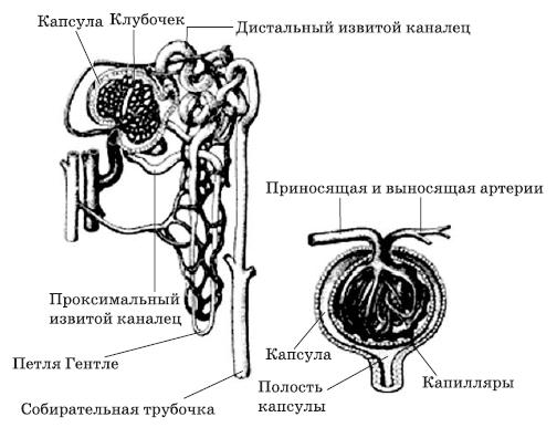 Схема строения нефрона .