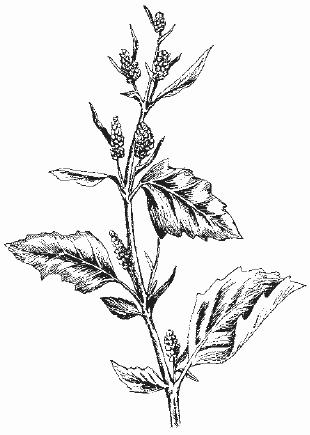 Истребление сорных растений в посевах зерновых колосовых культур.