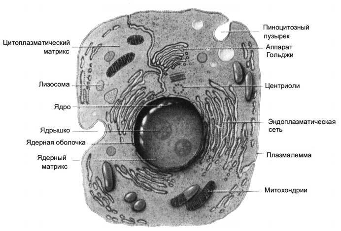 Строение ядерной клетки