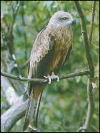 Хищные дневные и ночные хищные птицы - продам сова, ястреб, сокол.