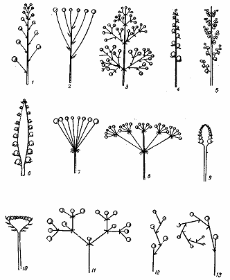 Типы соцветий: