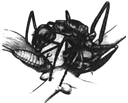 Муравьи ухаживают за гусеницей