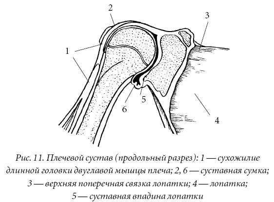 Плечевой сустав - трехосный шаровидный сустав, образованный головкой...
