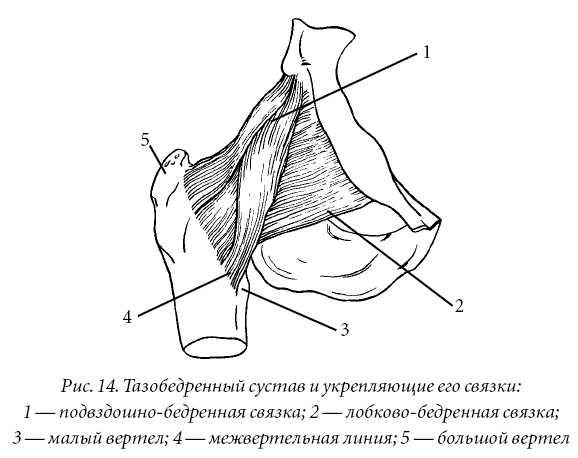 Внутри полости тазобедренного сустава находится связка головки бедра.