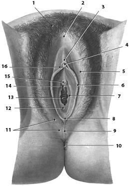 Как выглядит клитор под микроскопом фото 515-217